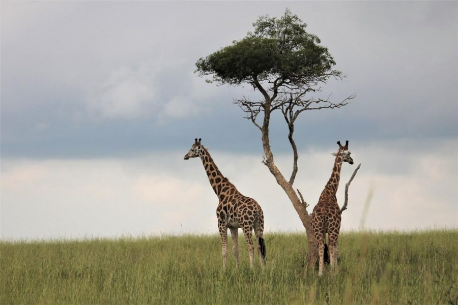 A risky way to save Africa's dying population of giraffes